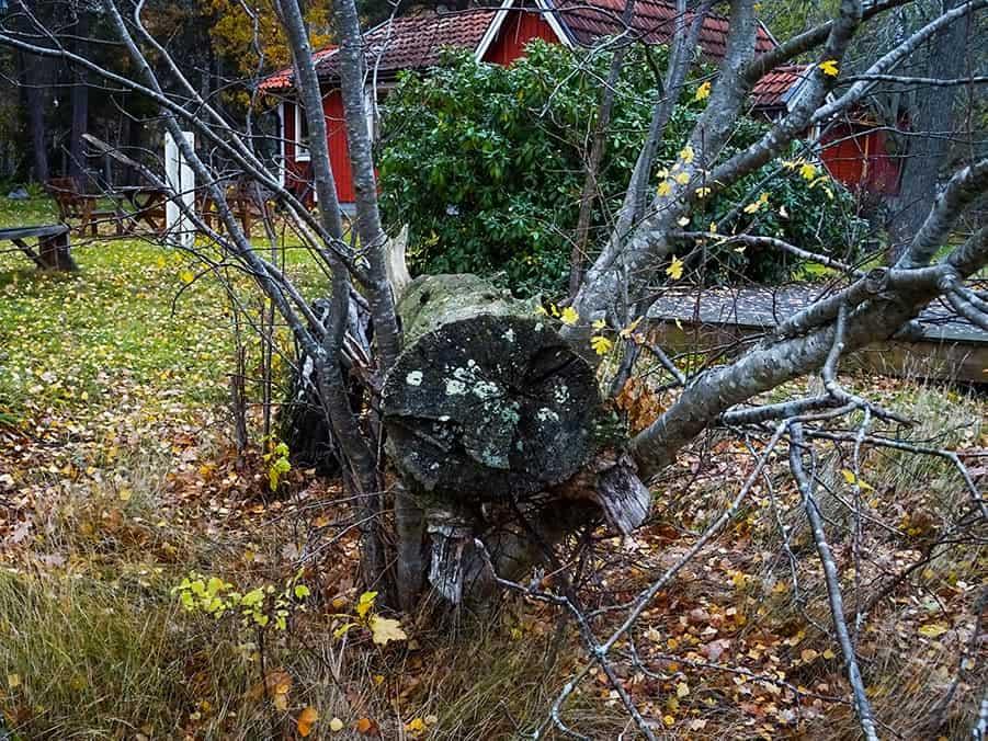 Skogsliknande hälsoträdgård i Färentuna. Ett stort träd ligger fallet.