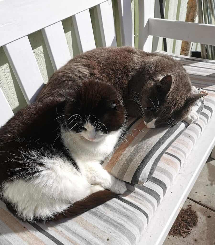 Johanna Erikssons 2 katter Massimo och Cilla ligger tillsammans i en soffa.