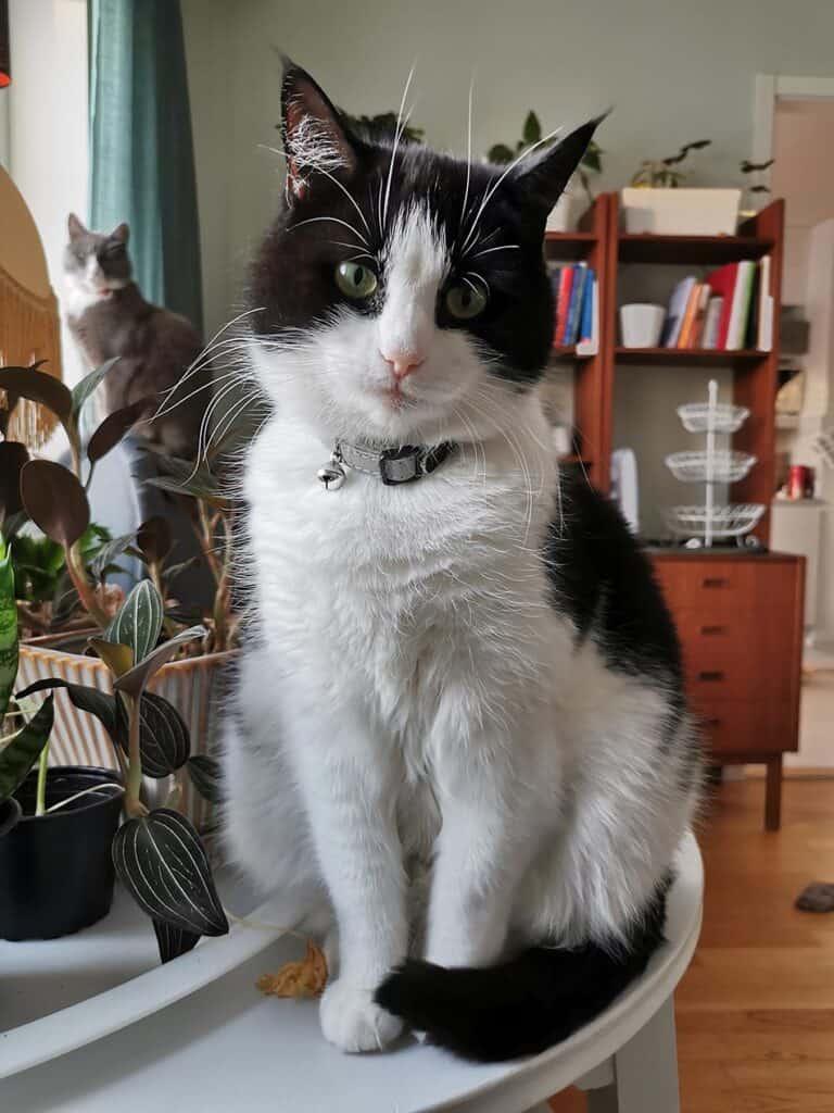 Foto: Johanna Eriksson. Katten Silla  inomhus i vardagsrummet.