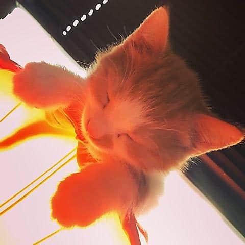 Brandgul katt