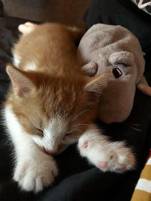 Sovande katt med gosedjur